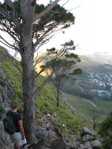 Stone pines on Lions Head