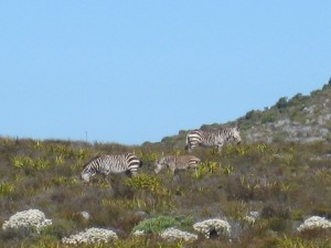 A lucky sighting of Zebra in Cape Point