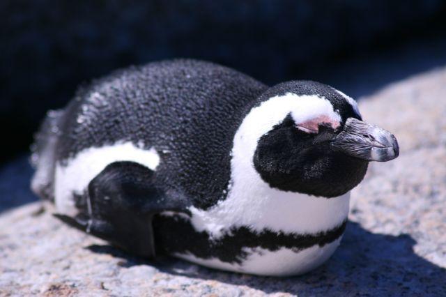 Penguins in Simons Town