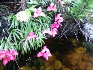 Table Mountain. Red Disa